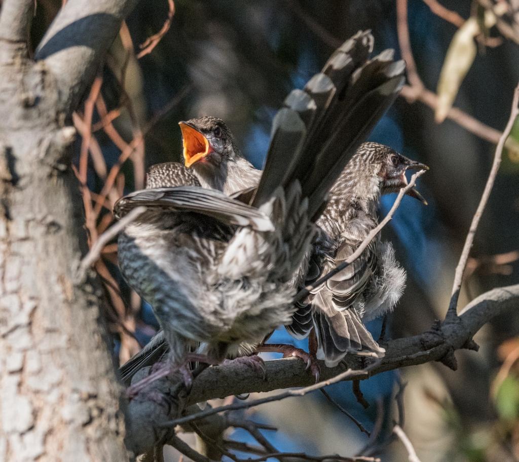 Red wattlebird fledglings feeding