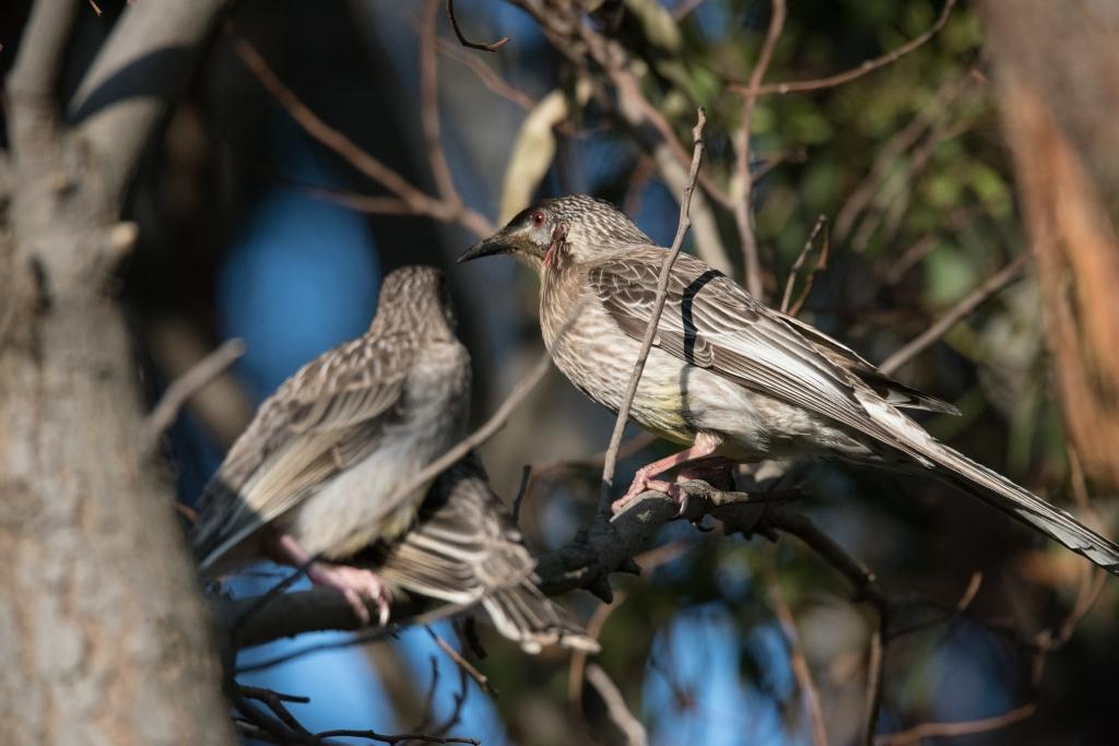 Red wattlebirds