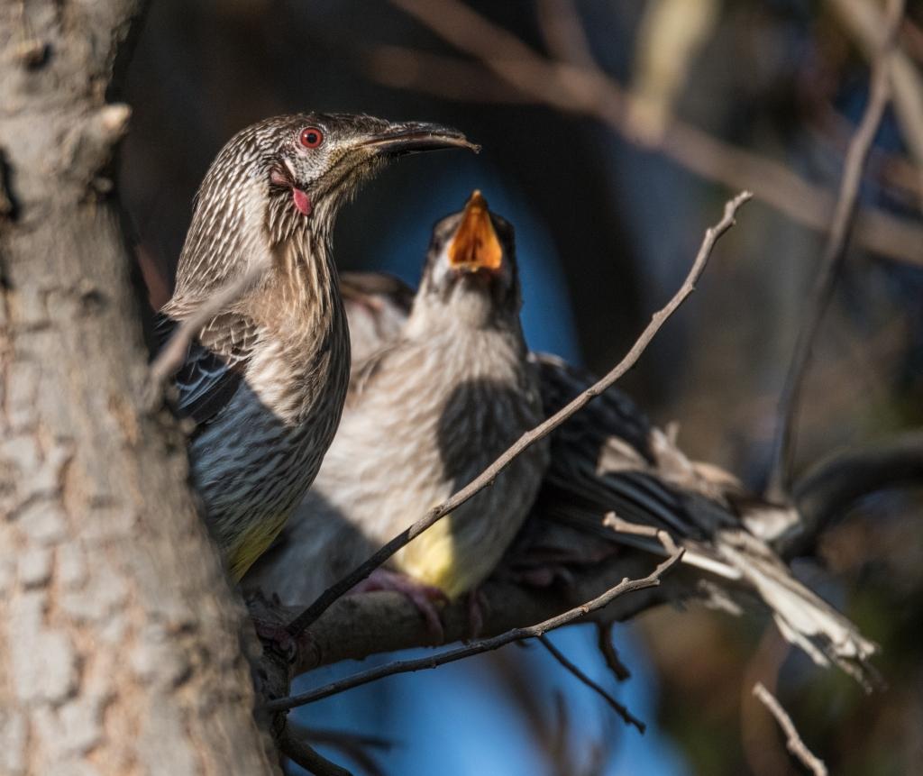 Red wattlebirds feeding their young