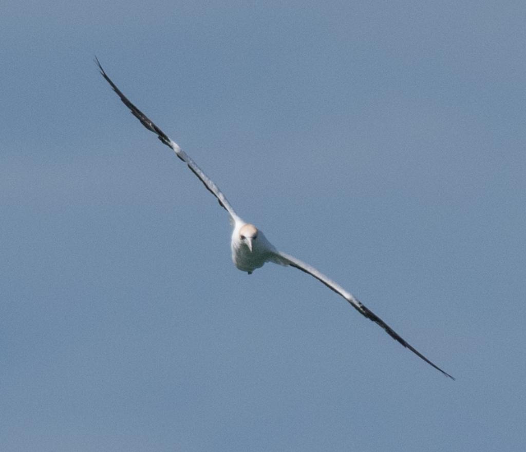 Australasian gannet soaring