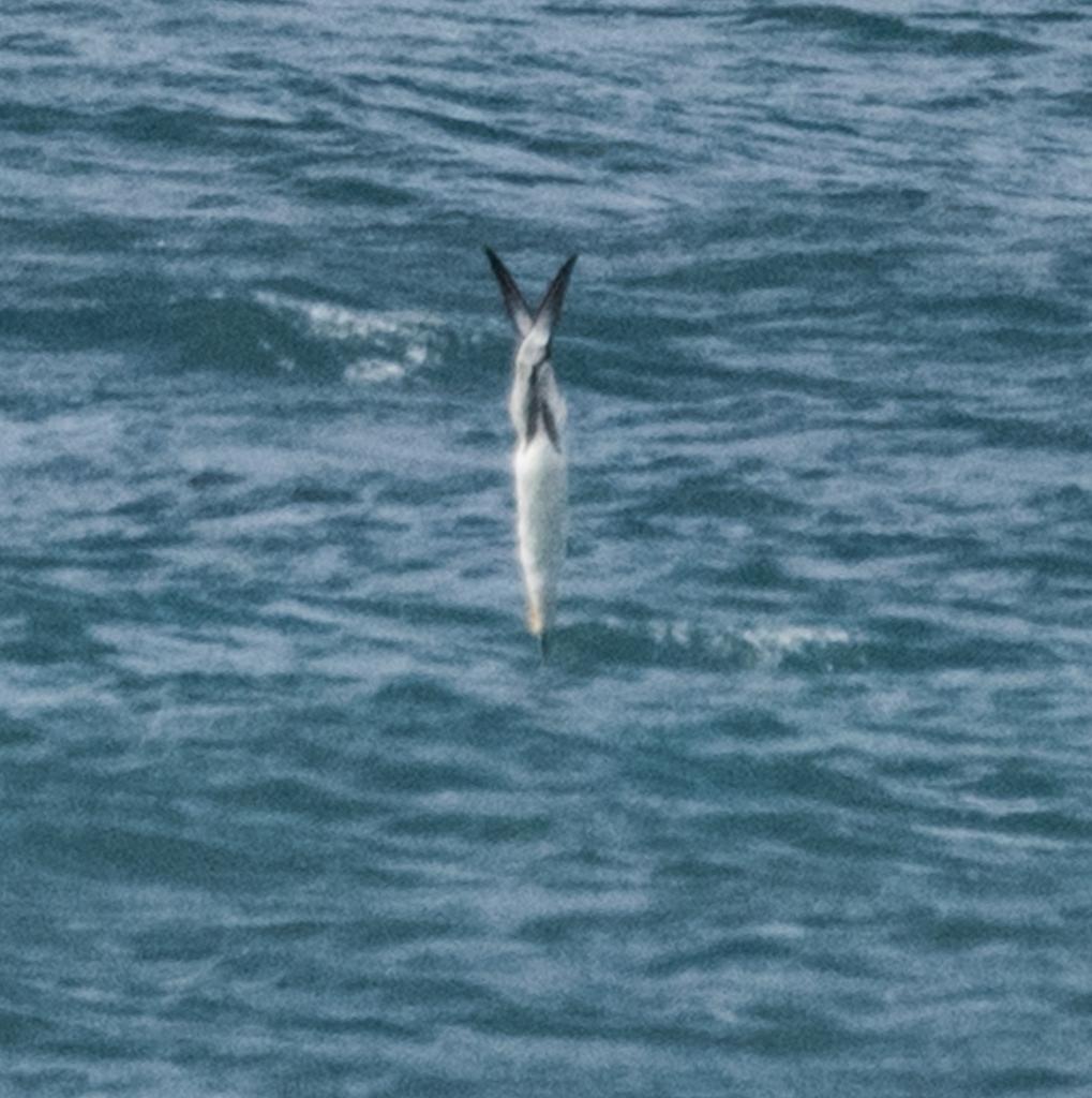 Australasian gannet diving