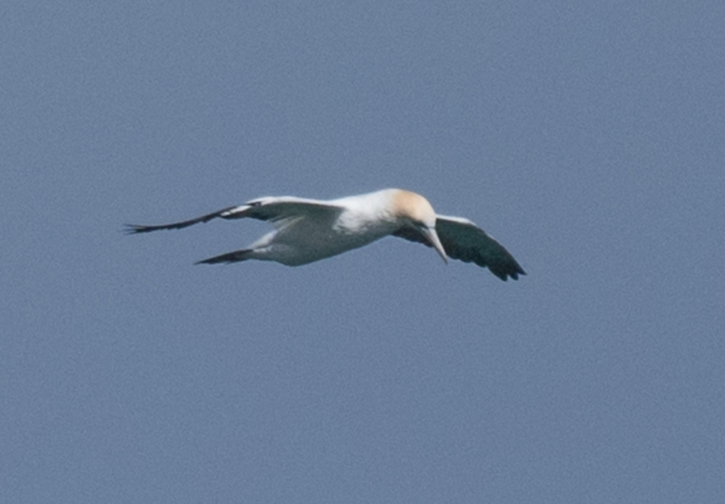 Australasian gannet looking got fish