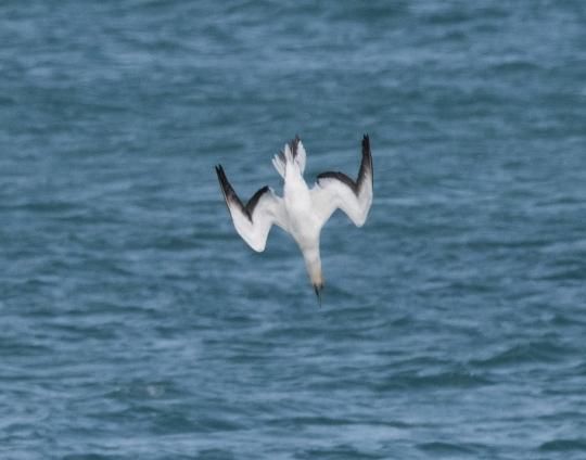 Australasian gannet diving into sea