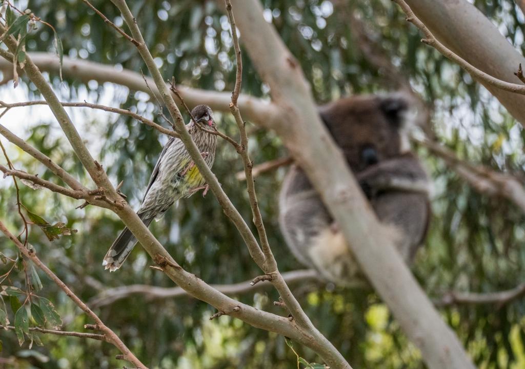 Koala and red wattlebird