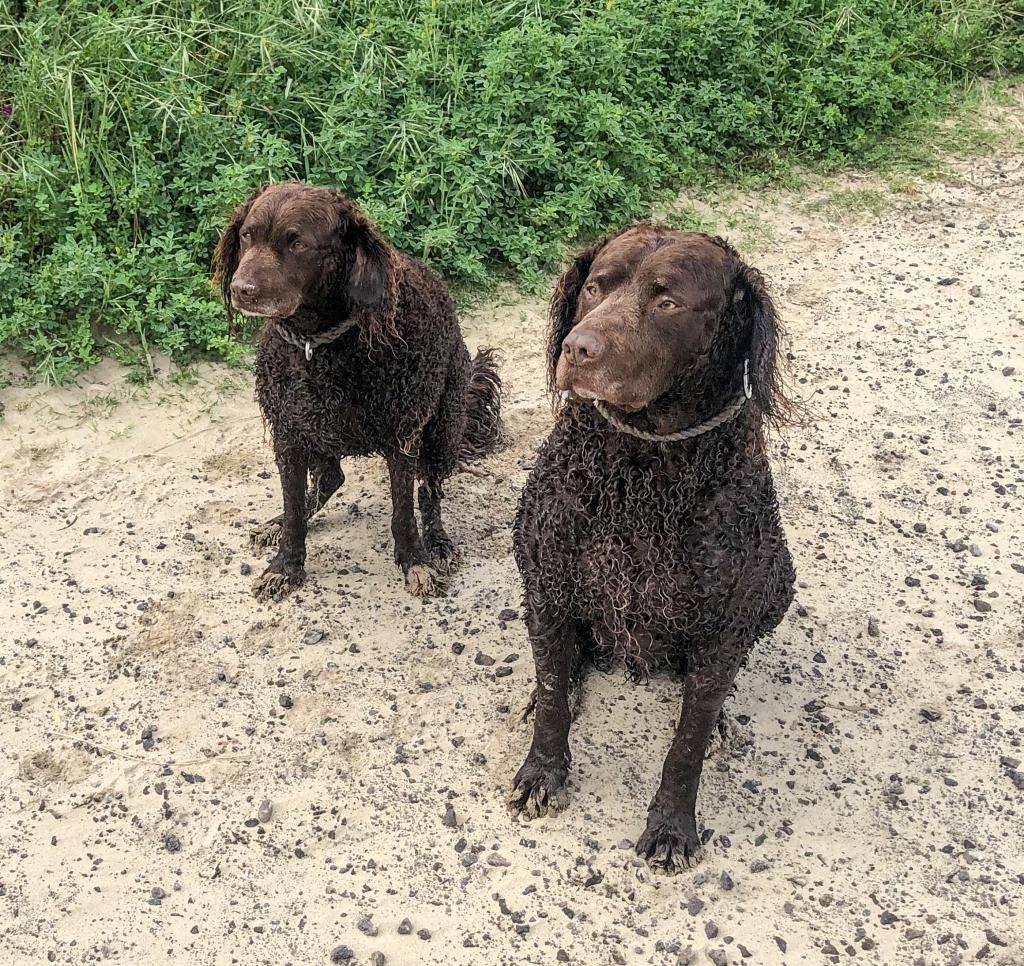 Curly haired retrievers