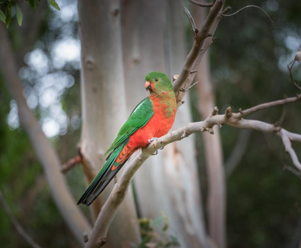 King Parrot Portrait