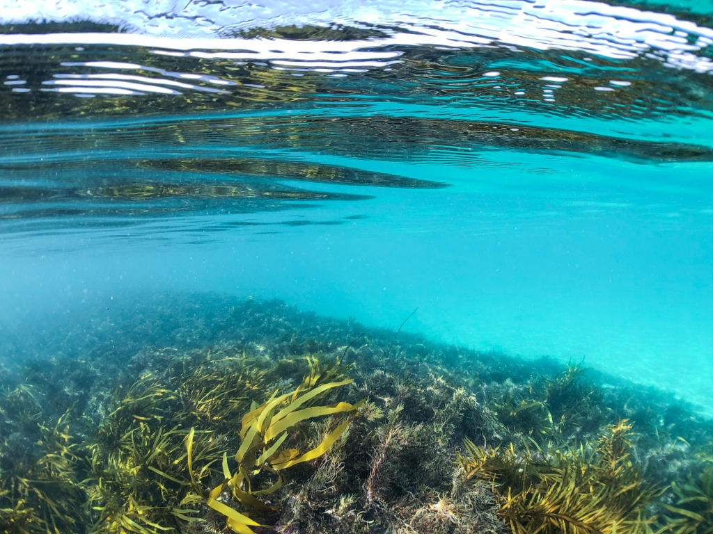 Kelp underwater at Marengo Reefs Marine Sanctuary, Little Henty Reef
