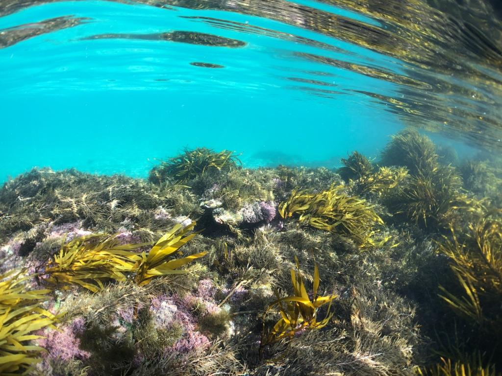 Marine plants at Marengo Reefs Marine Sanctuary, Little Henty Reef