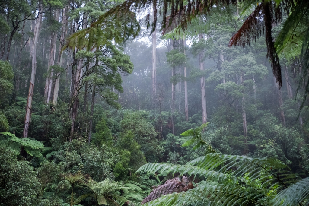 Mountain Ash in cool temperate rainforest in the Otways