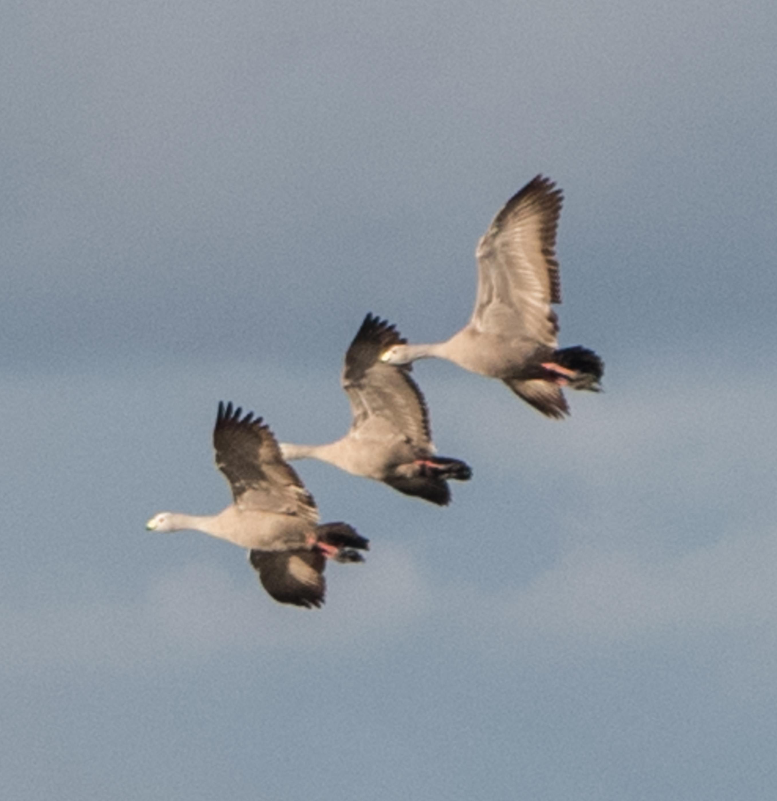 Cape Barren geese at dusk south australia
