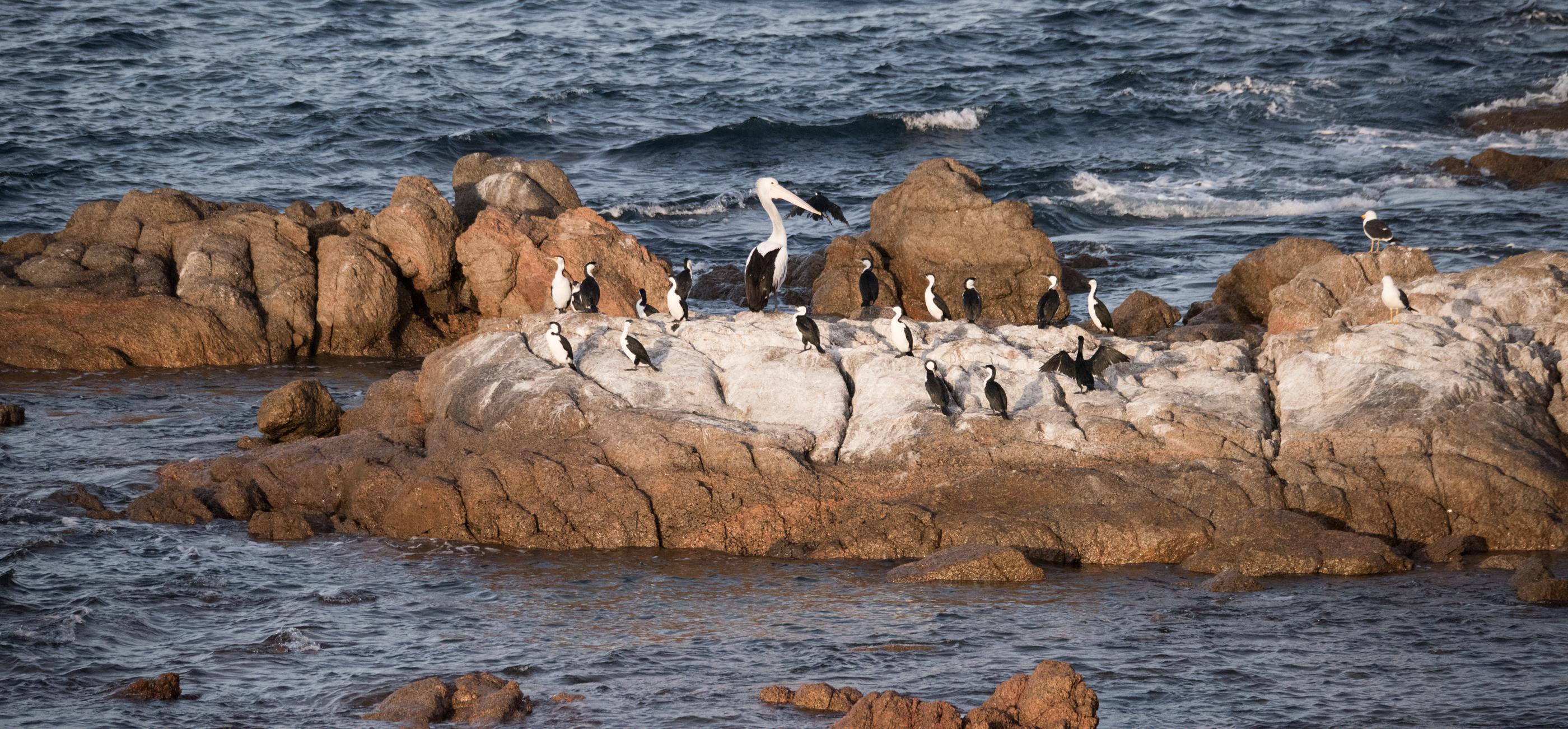 Pelican and pied cormorants south australia