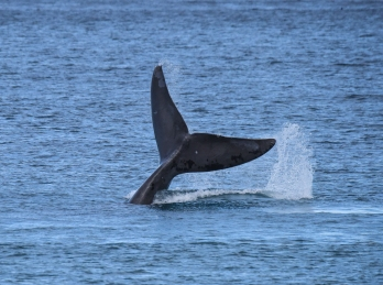 Southern Right Whale diving tail flukes