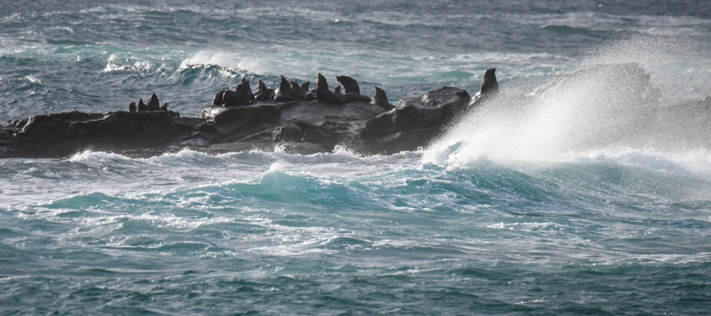 Australian fur seals at Little Henty Reef