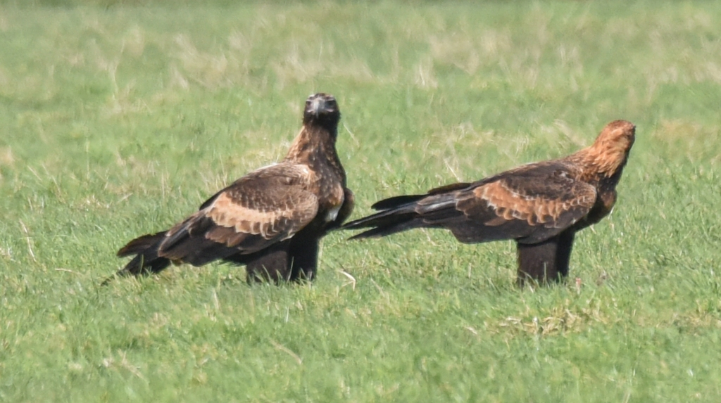 Pair of wedge-tailed eagles in grassy paddock.