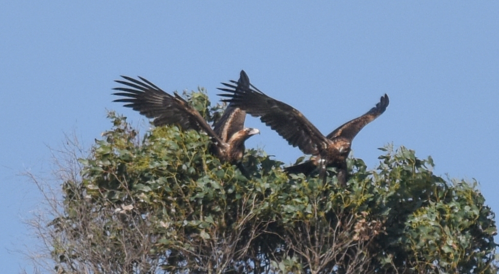 Wedge-tailed eagles landing in a gum tree.