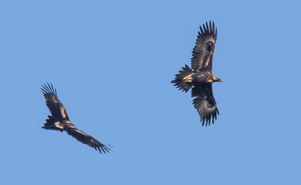 Pair of wedge-tailed eagles flying together.