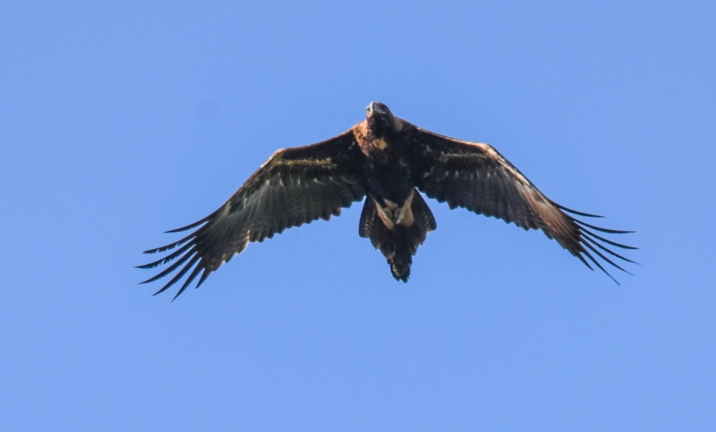 Adult wedge-tailed eagle in flight