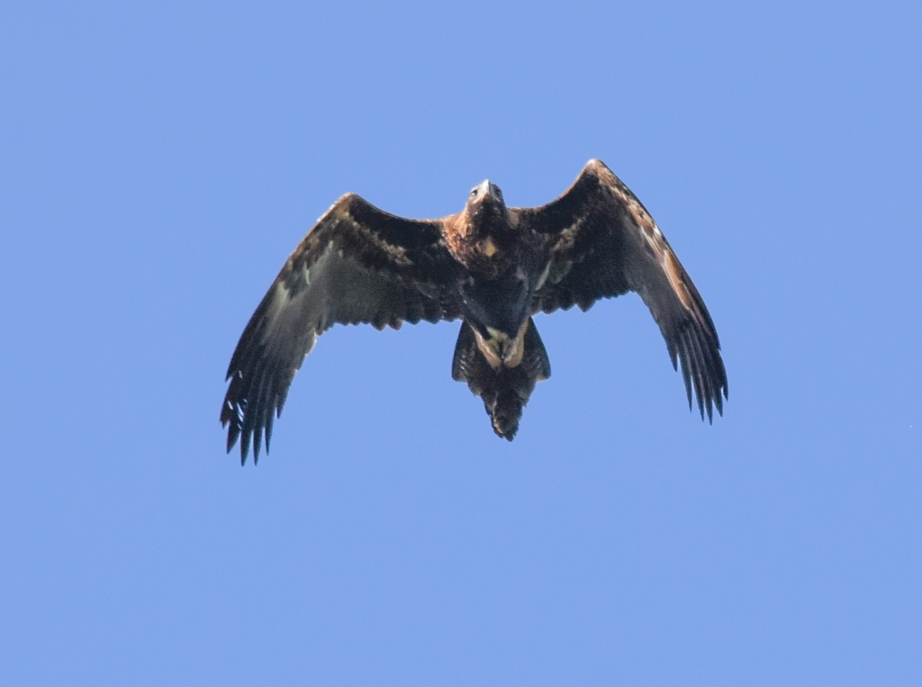 Adult wedge-tailed eagle in flight.