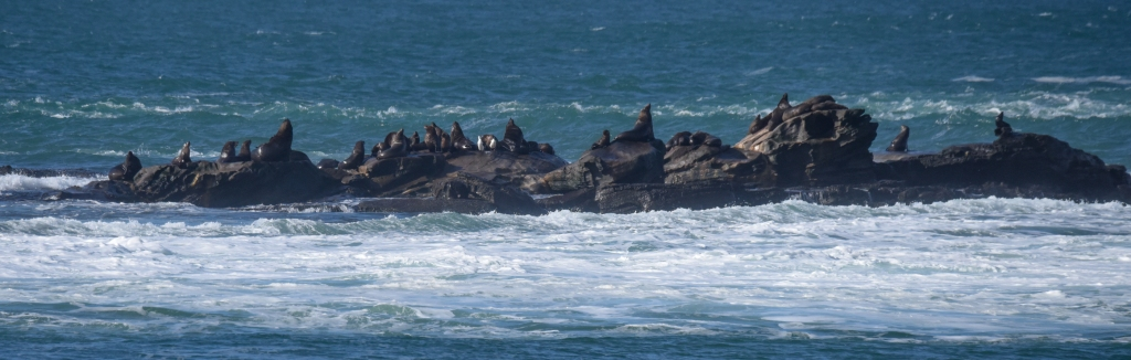 Seals and pied cormorants on Little Henty Reef