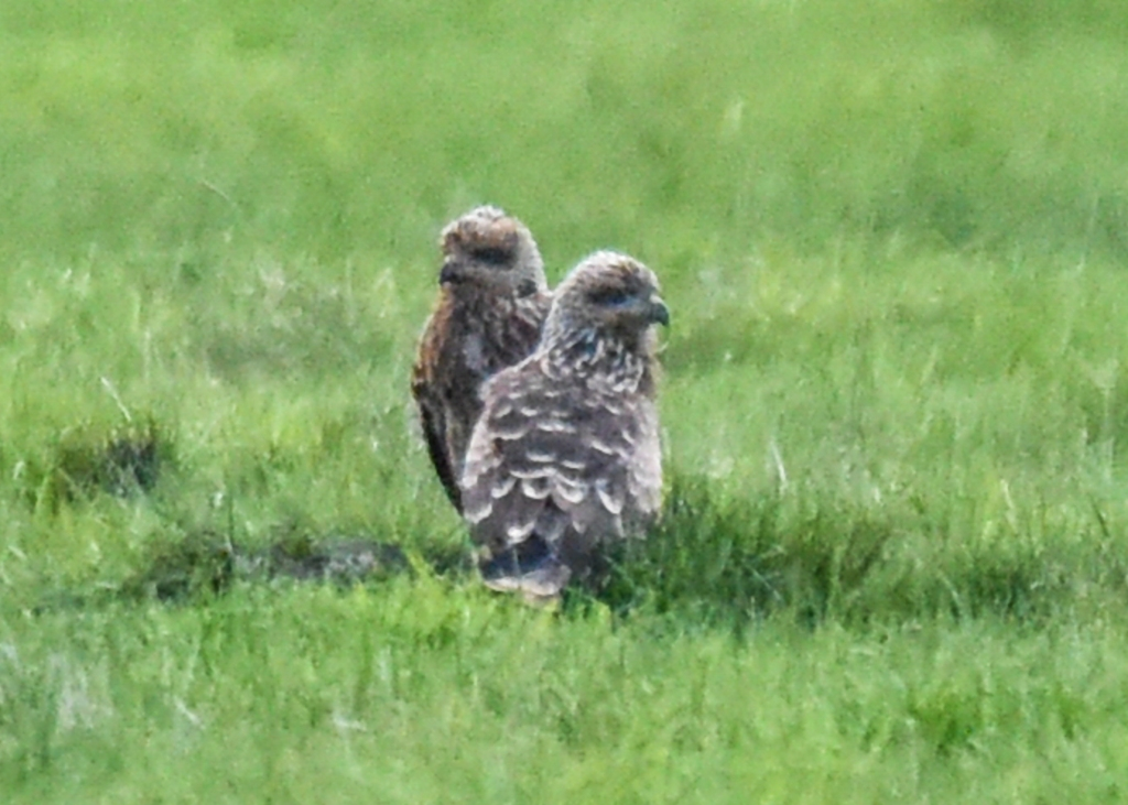 Two young black kites on the ground.
