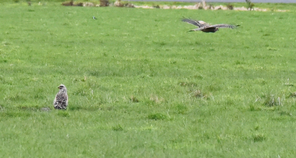 Black kite flying and one on the ground