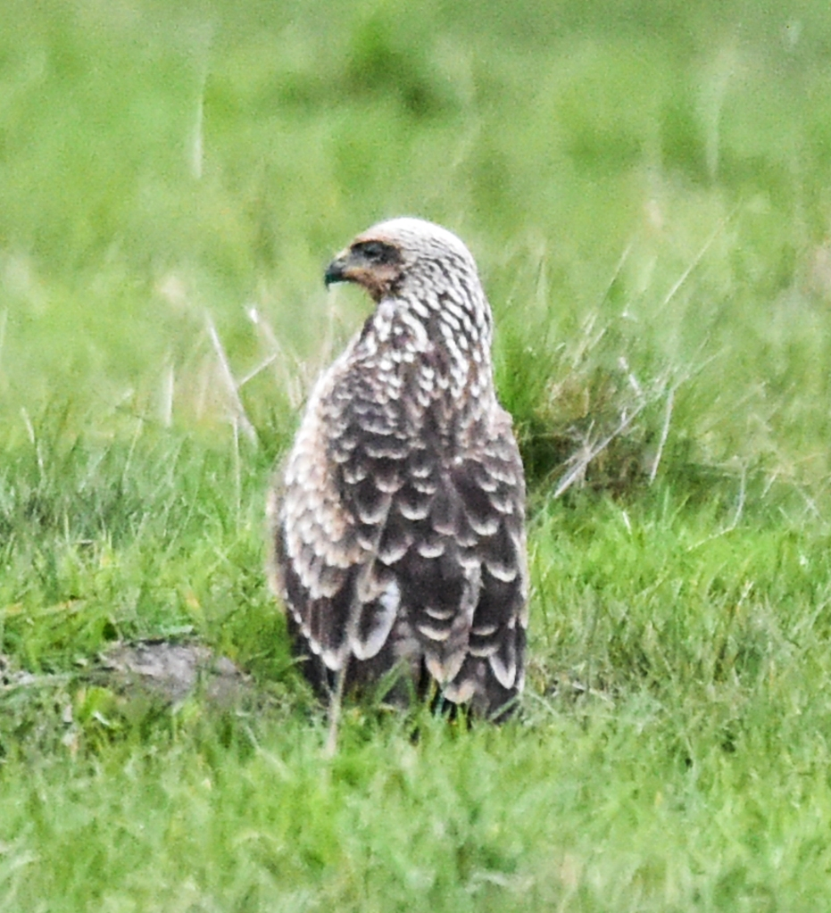 Young black kite on the ground