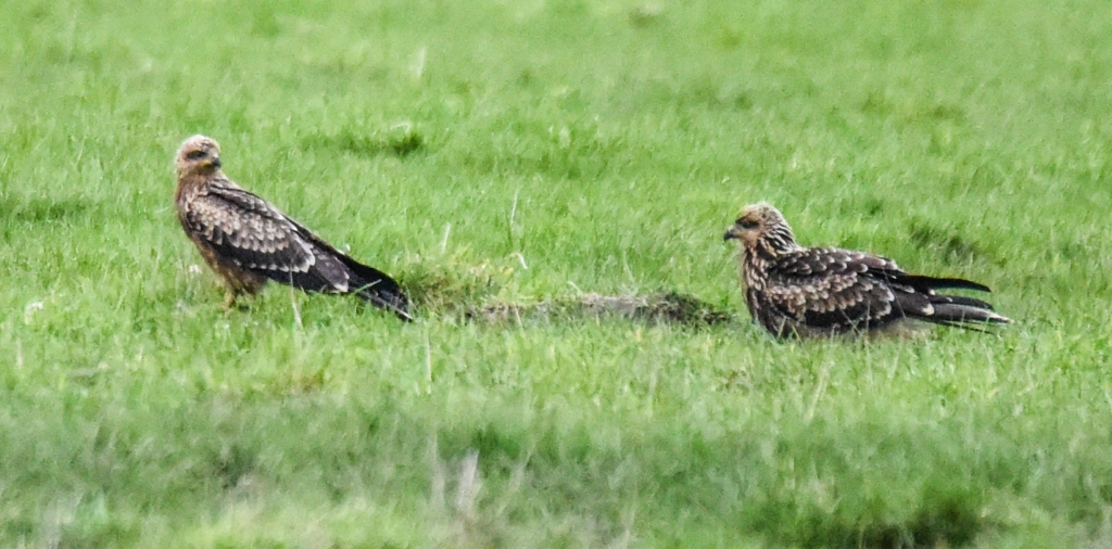 Young black kites on the ground