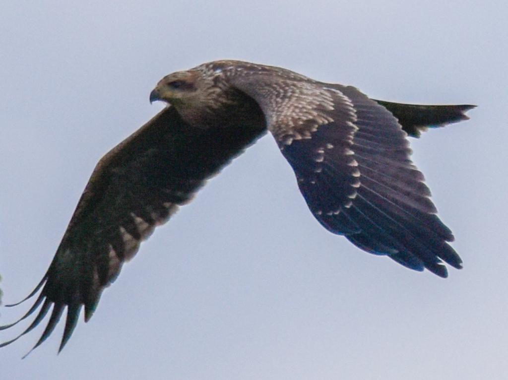 Black kite flying. Raptor
