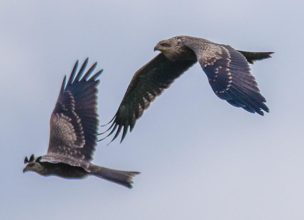 Pair of black kites flying