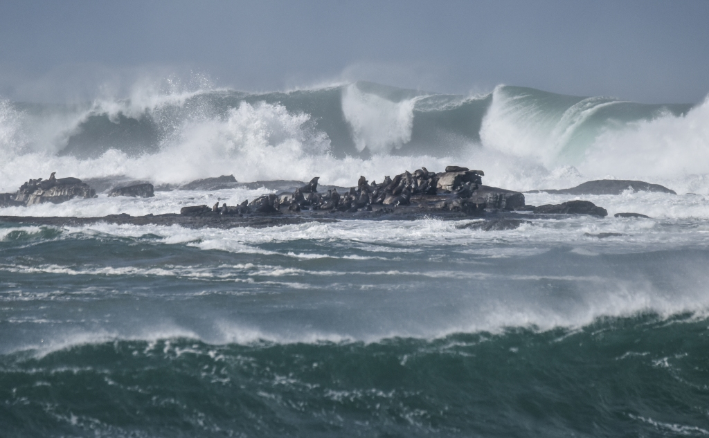 Seal colony with threatening large waves nearby