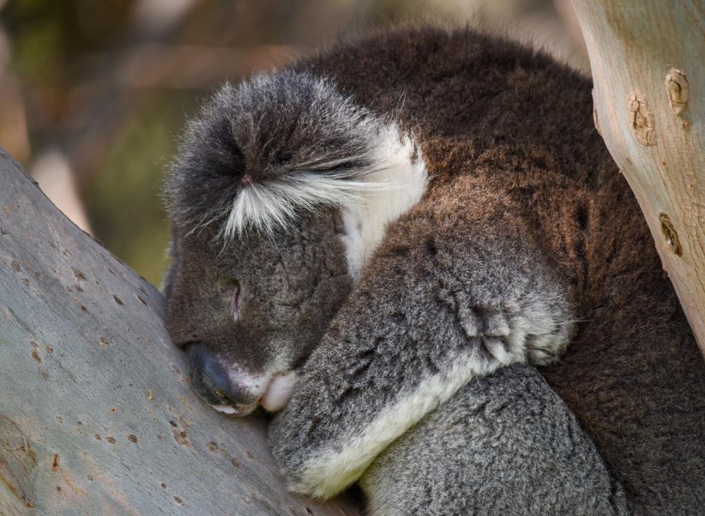Koala sleeping in gum tree
