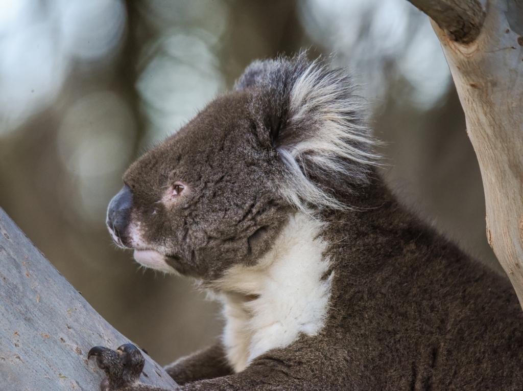 Koala posing in gum tree