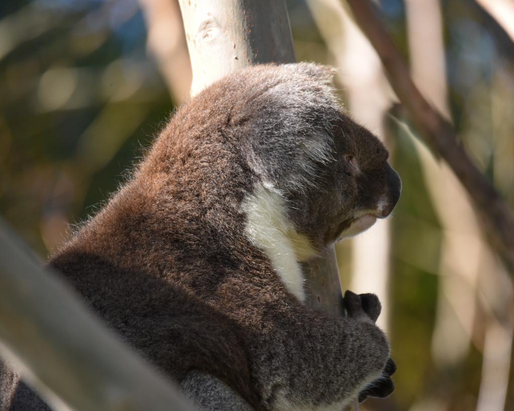 Windblown koala in gum tree