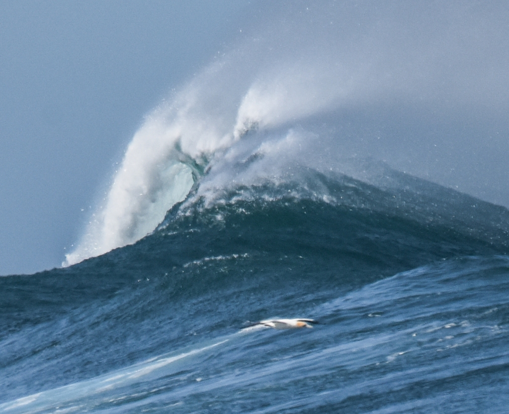 Detail of large breaking wave with Australasian gannet soaring across the green wall