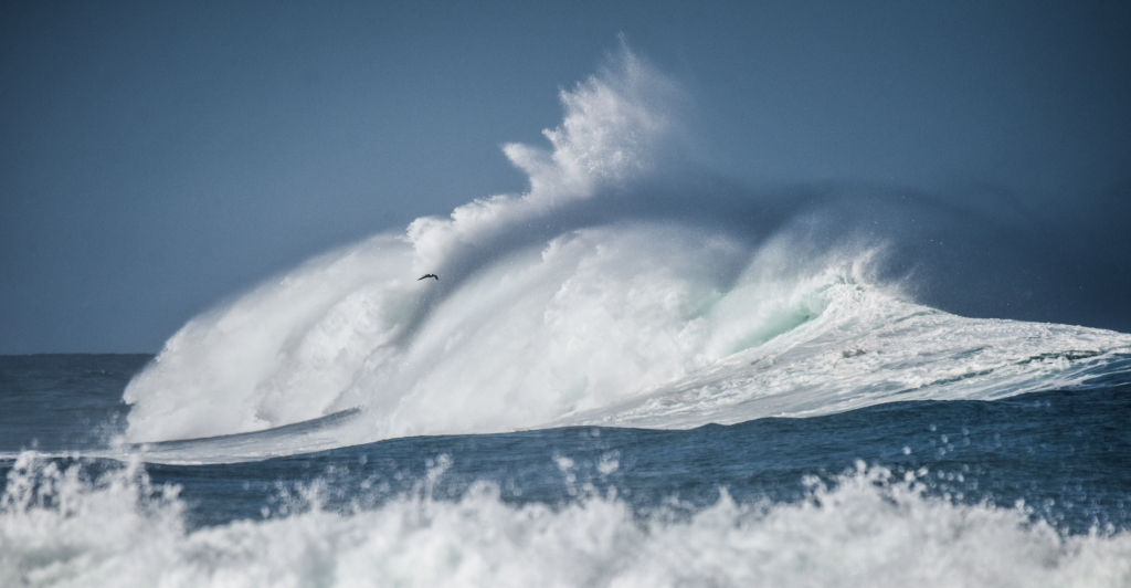 Solitary bird in front of large breaking wave