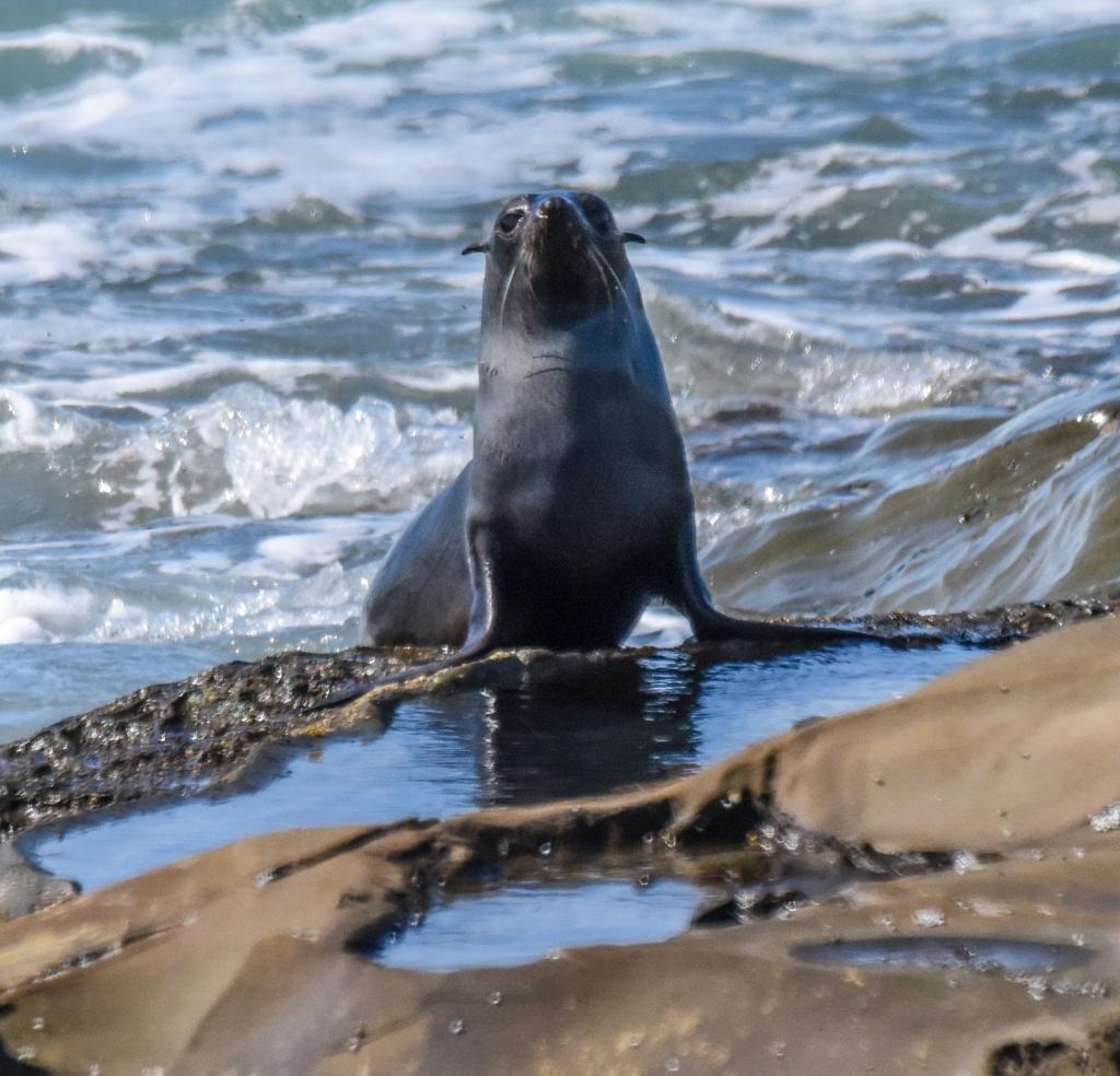 Australian fur seal pup at Hayley Point Marengo