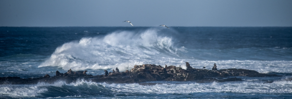 Little Henty Reef near Marengo with seal colony and silver gulls