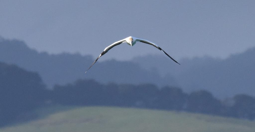 Australasian gannet soaring over hills