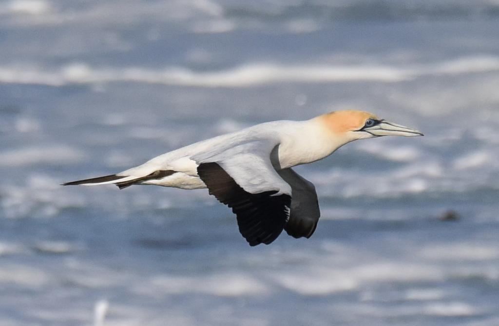 Closeup of Australasian gannet soaring low over breaking surf