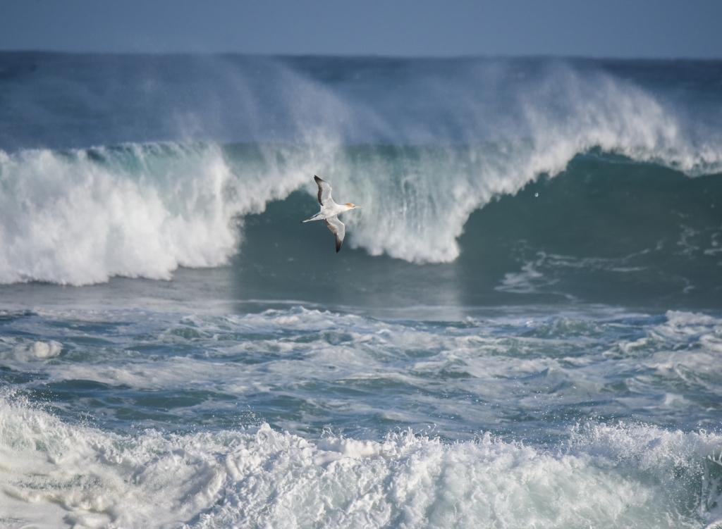 Australasian gannet climbing over large breaking wave