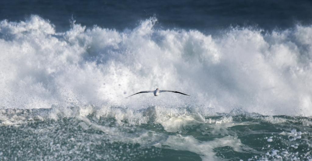 Australasian gannet flying low over breaking surf