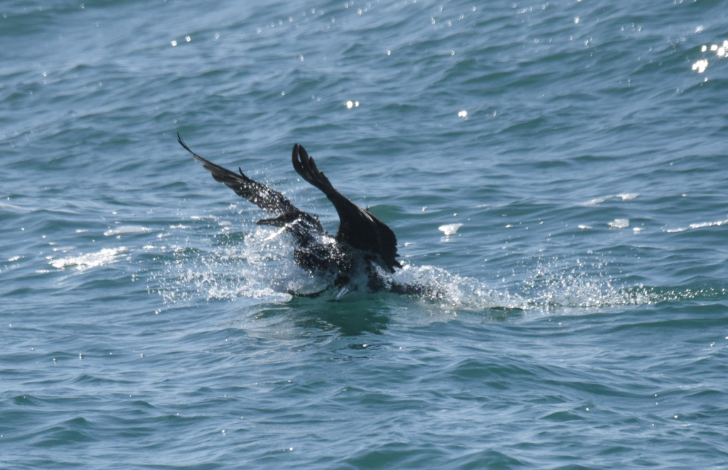 Cormorant landing awkwardly in the sea