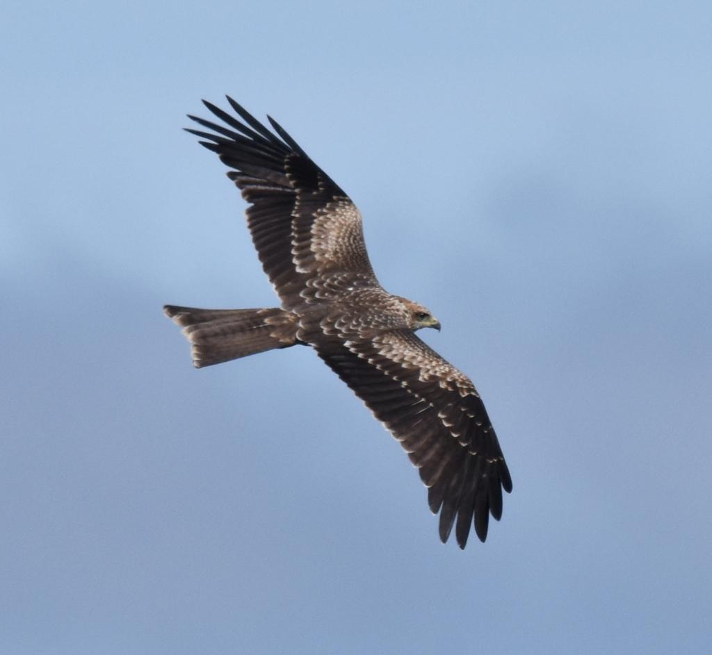 Black kite flying