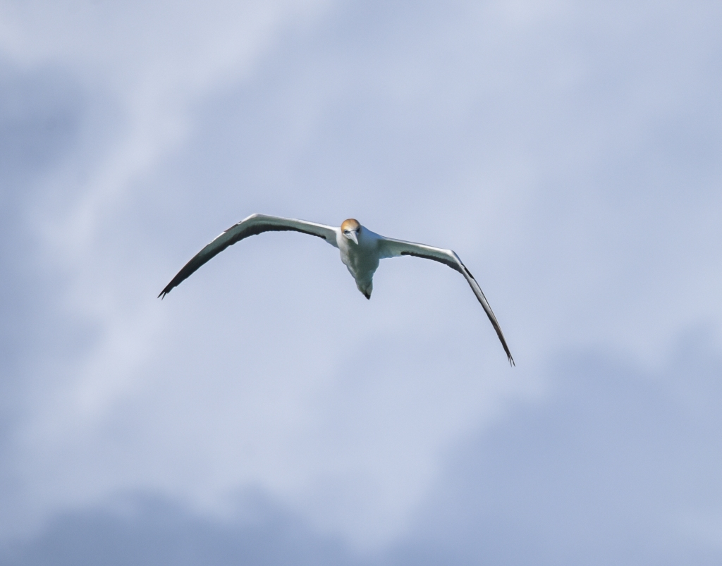 Australasian gannet flying