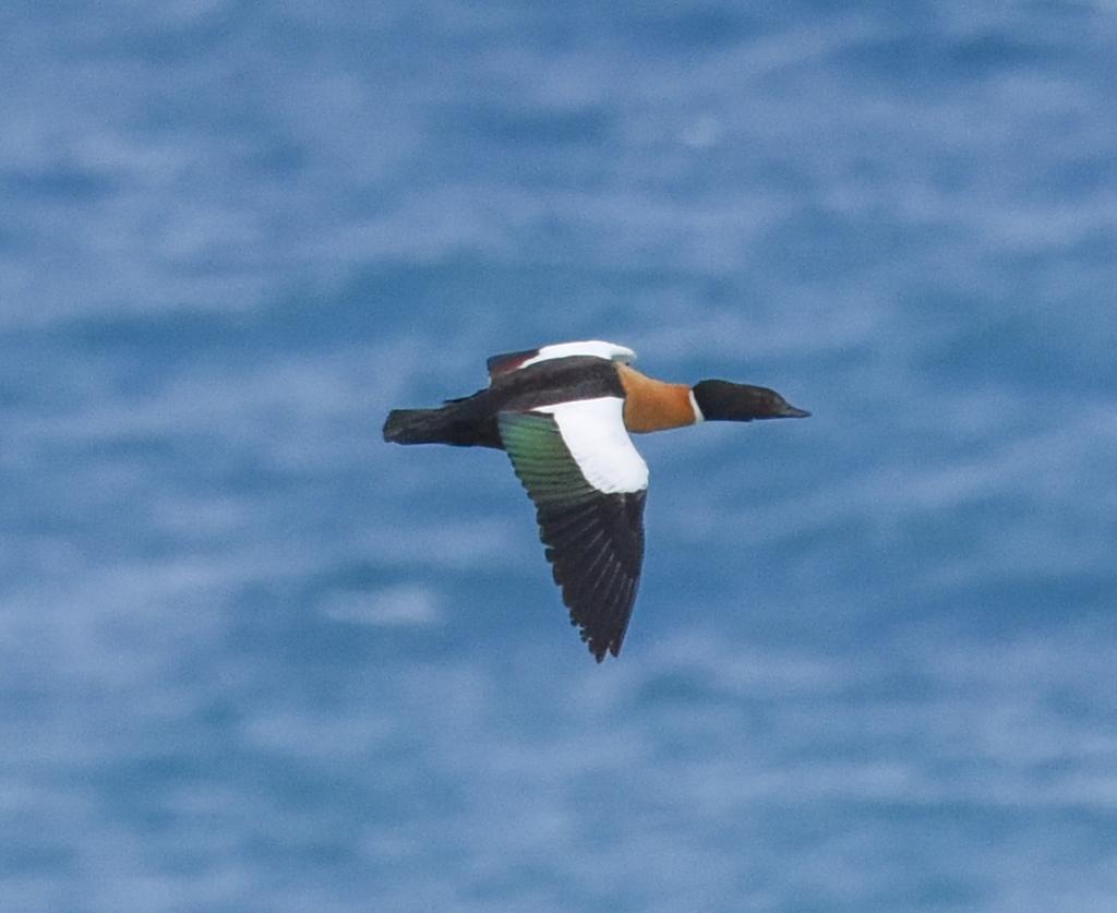 Australian shelduck aka mountain duck