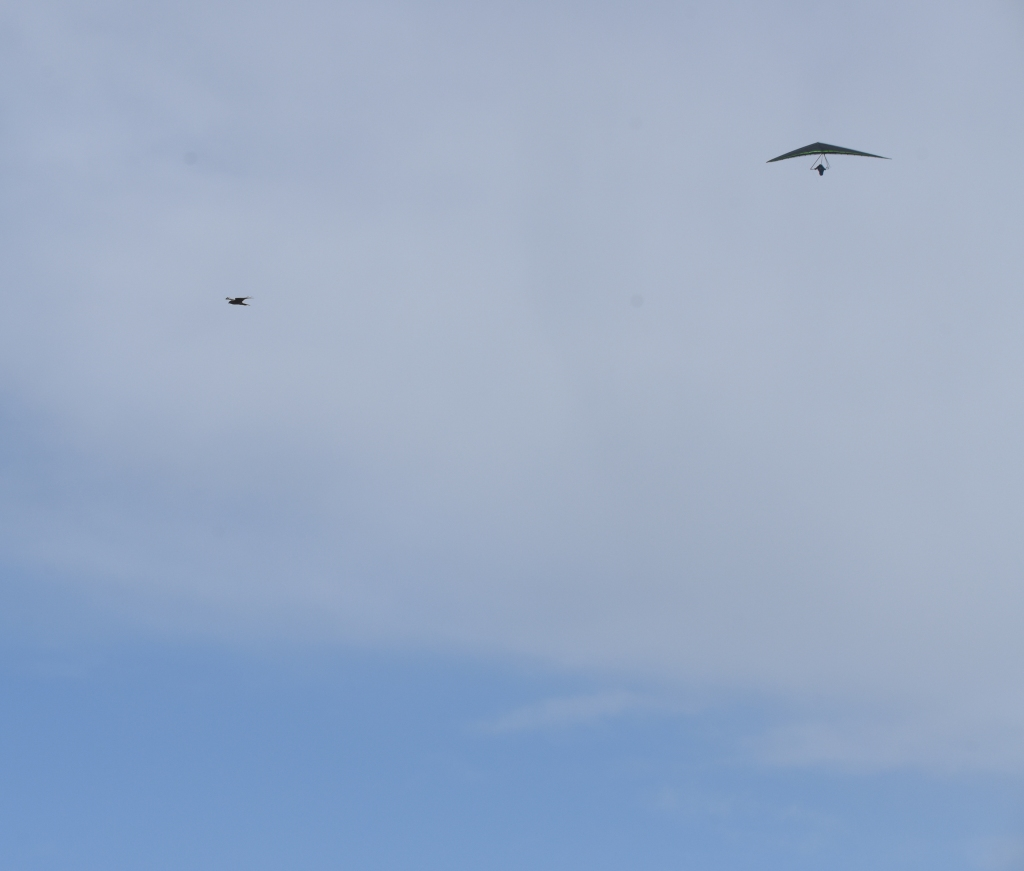 Hang glider and falcon soaring near each other