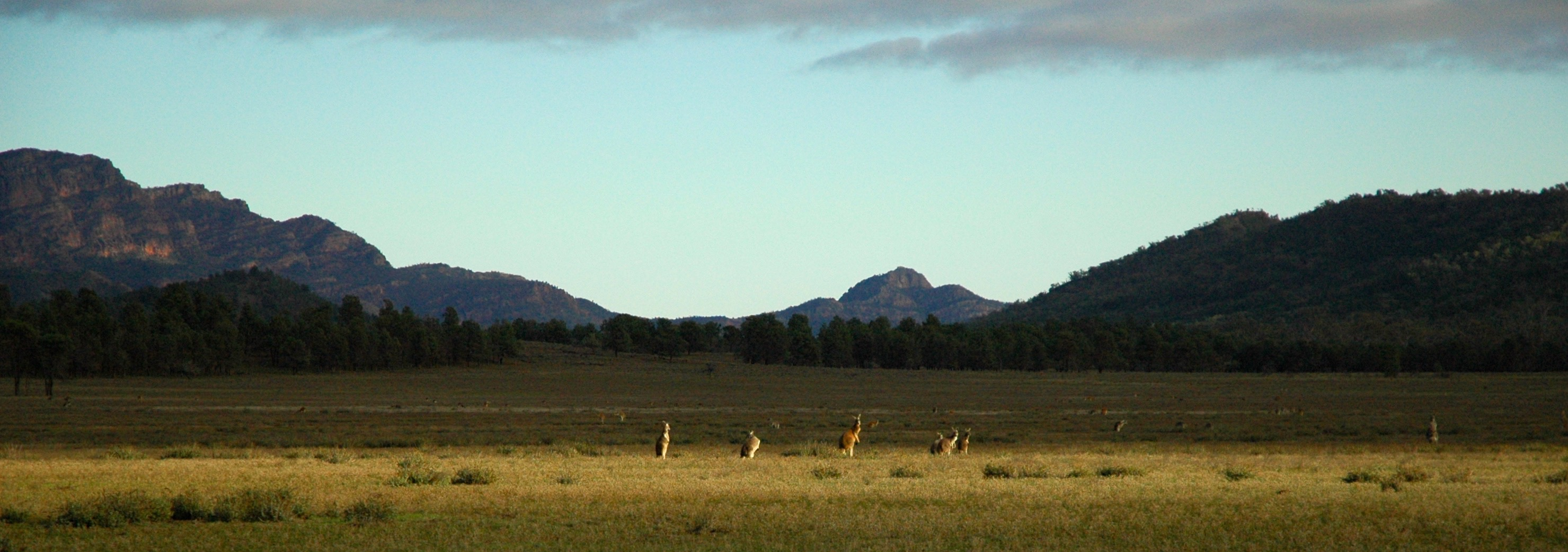 Kangaroos grazing near Wilpena Pound in the Flinders Ranges.